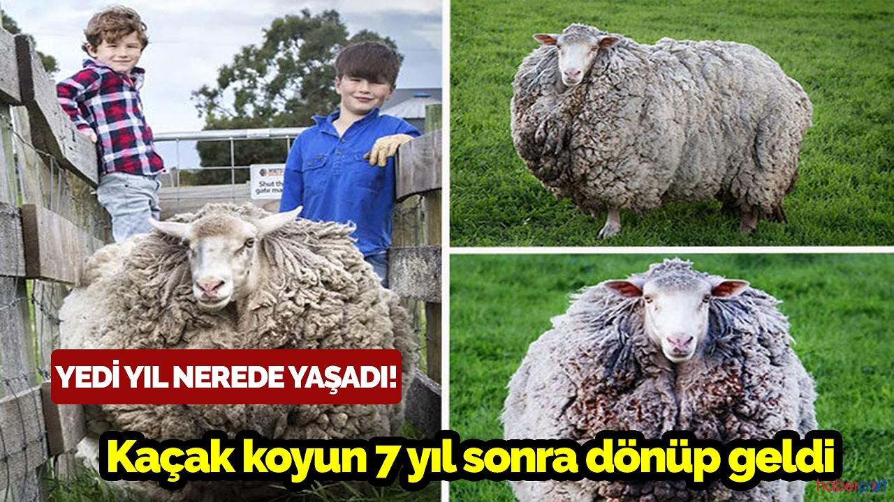 Kaçak koyun 7 yıl sonra dönüp geldi