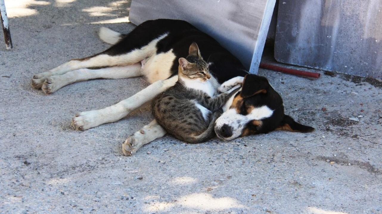 Amasya'da kedi ile köpeğin dostluğu görenleri şaşkına çeviriyor