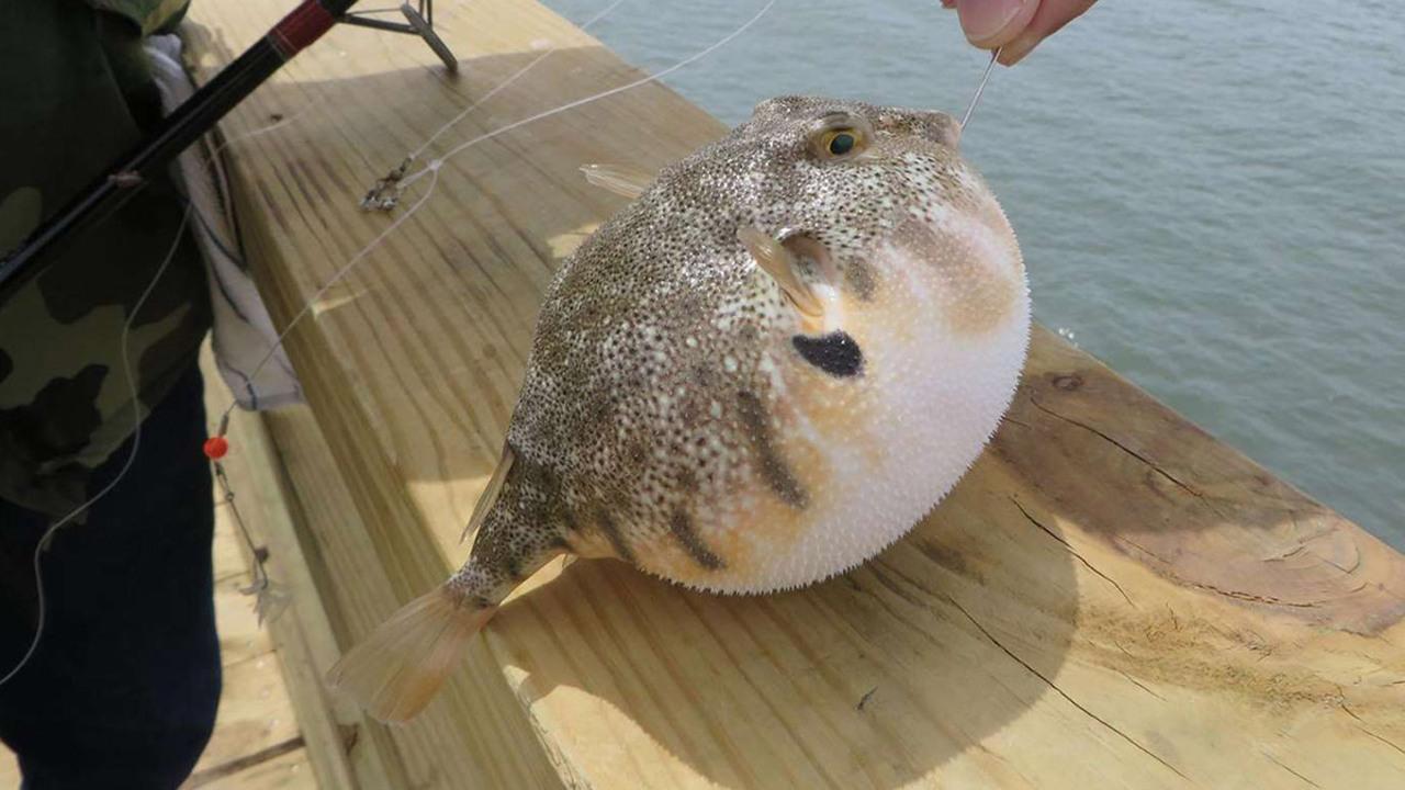 Balon balığını avlayacak balıkçılara ödül verilecek