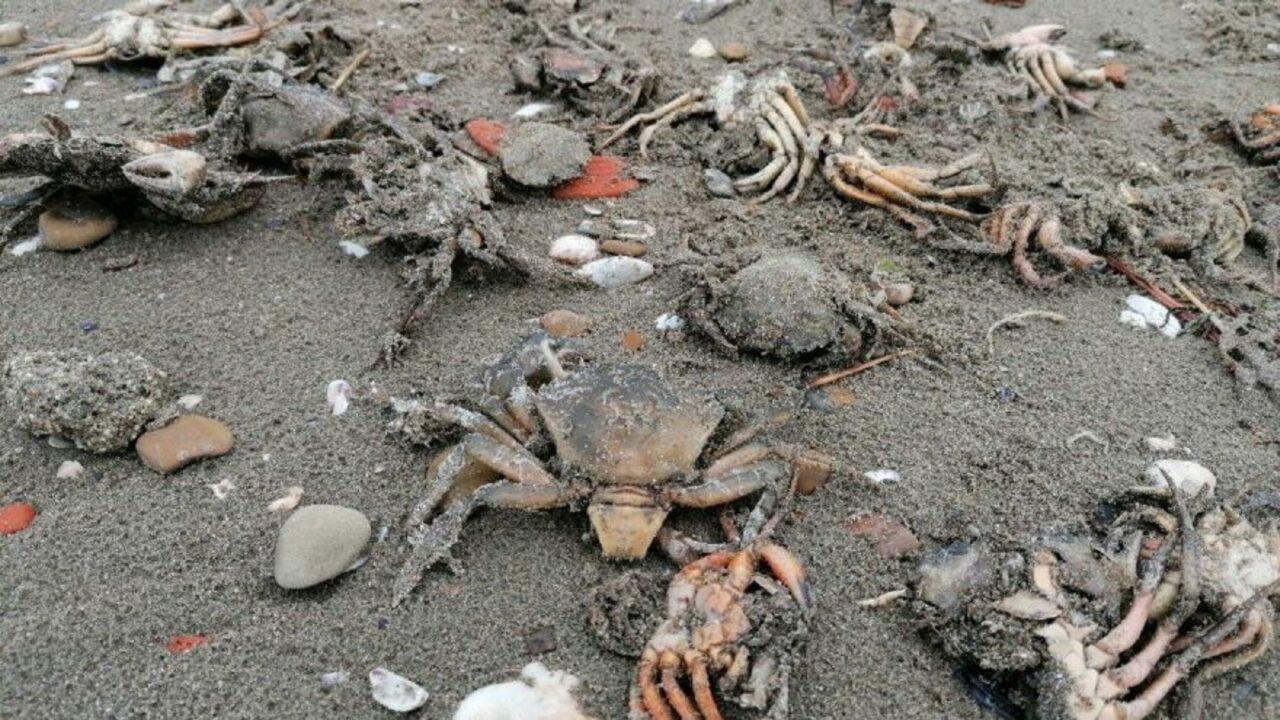 Vatandaşları şaşırtan görüntü: Sahile ölü yengeçler vurdu