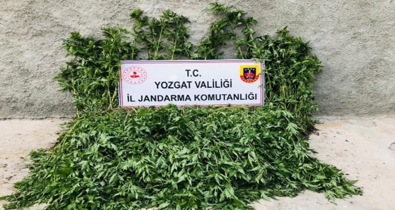 Yozgat'ta bir köy evinin bahçesinde 2 bin 380 kök Hint keneviri ele geçirildi