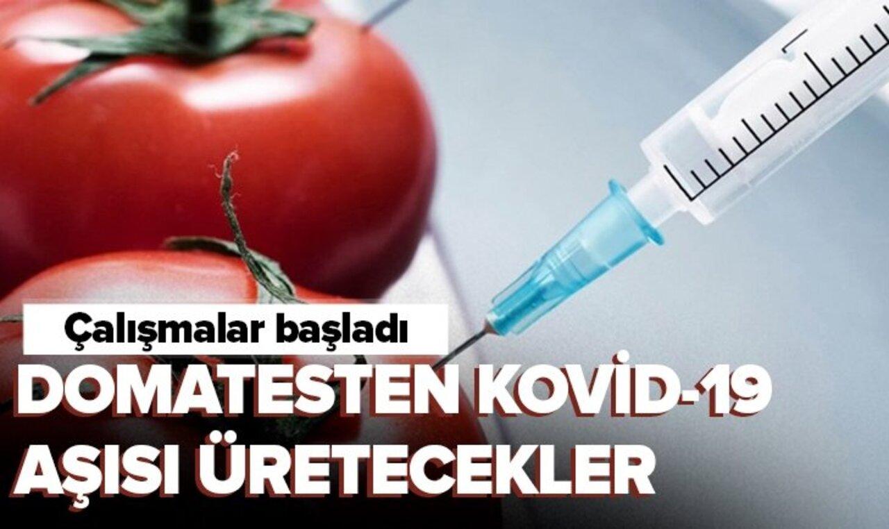 Domatesten Kovid-19'a karşı yenilebilir aşı üretilecek!