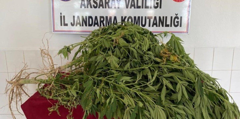 Aksaray'da köy evinin bahçesinde 14 kök kenevir ele geçirildi